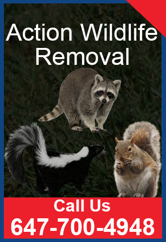 Call Action Wildlife Removal – 647-700-4948