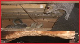 Guelph Wildlife Removal Services