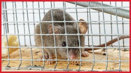 Mice & Rats Removal Services