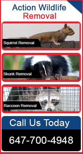 Action Wildlife Removal Services – 647-700-4948